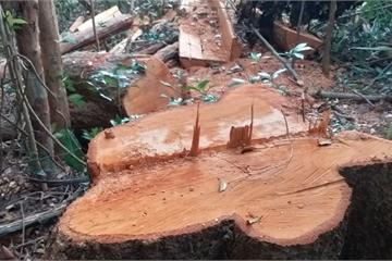Gia Lai: Rừng bị lâm tặc phá nát, chủ tịch huyện nói gì?