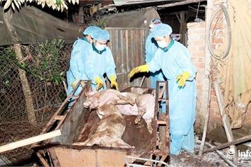 Quảng Bình xuất hiện ổ dịch tả lợn châu Phi đầu tiên tại huyện Minh Hóa