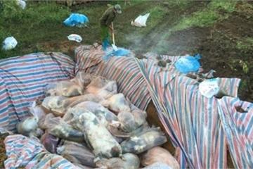 Xuất hiện dịch tả lợn châu Phi tại Thanh Hóa