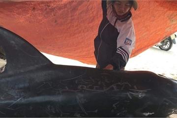 Xác cá voi 1,5 tạ, dài 2m trôi dạt vào bờ biển Hà Tĩnh
