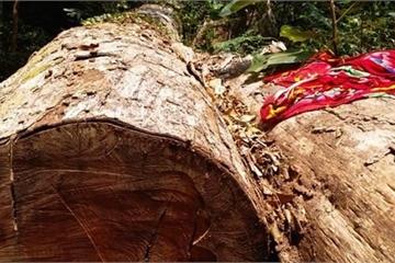 Kon Tum: Thâm nhập hiện trường vụ chặt phá rừng cổ thụ tại huyện Đăk Tô
