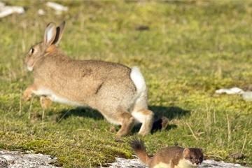 """Chồn ecmine và thỏ rừng kịch chiến nhanh như """"chớp"""""""