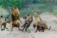 Clip: Bị 14 con linh cẩu đánh hội đồng, sư tử sợ co rúm trốn trên cây