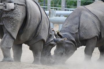 Tê giác đực hùng hổ húc bay con non, tê giác mẹ lao đến quyết sống mái một phen