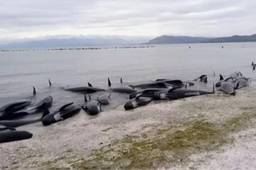 Hơn 300 cá voi nằm chết la liệt trên bờ biển New Zealand