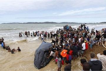 Giải cứu cá voi lưng gù dài 10 mét mắc cạn ở Brazil