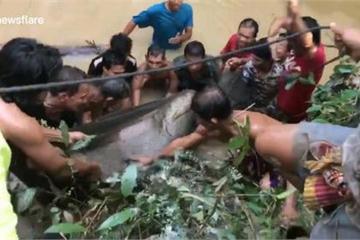 """Cá tra dầu """"khủng"""" nặng 200 kg mắc cạn ở Thái Lan"""