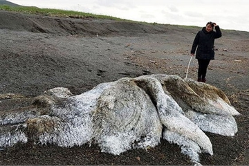 """""""Sinh vật lạ"""" đầy lông lá mắc cạn trên bờ biển Siberia"""