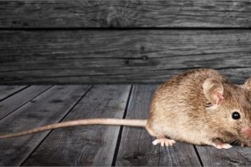 """Cận cảnh cuộc sống của """"chuột không gian"""" trên Trạm vũ trụ quốc tế"""