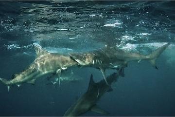 """Hi hữu, cá mập đen """"cắn"""" trọn đầu đồng loại, vì mải mê đuổi theo con mồi"""