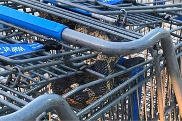 Hốt hoảng khi rắn trốn trong xe đẩy hàng siêu thị ở Mỹ