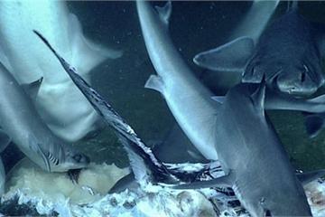 """Mải mê ăn mồi, con cá mập bị cá mú """"khổng lồ"""" nuốt chửng"""