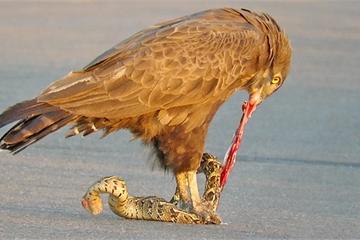Cuộc chiến tàn khốc giữa chim đại bàng và rắn nâu