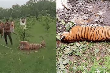 Ấn Độ: 35 người bị bắt, truy nã khi đánh chết hổ, trả thù cho người cùng làng