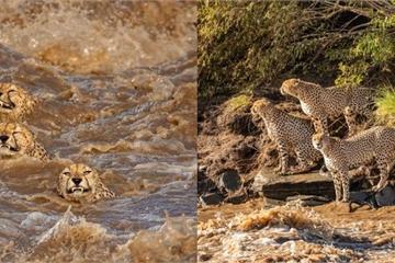 Đàn báo săn bạo gan bơi qua lãnh địa của cá sấu hung dữ và cái kết
