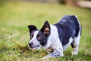 Điều đặc biệt gì khiến chú chó này có giá hơn 550 triệu đồng?