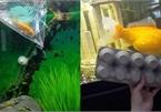 'Ăn thịt đồng loại' cá vàng nhí hóa thành cá khổng lồ hơn 30 cm