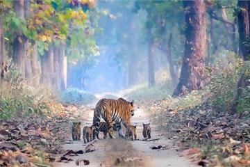 Video gây sốt: Hổ mẹ và đàn con đông hiếm có tự do đi lại bên trong vườn quốc gia