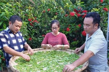 Cơ hội từ thị trường cây đàn hương chưa được khai phá