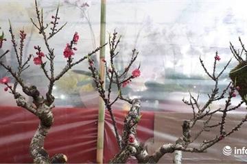 Hoa đào lạ gần chục triệu mỗi cây săn khách chơi Tết