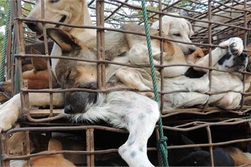 5 triệu con chó và 1 triệu con mèo bị giết lấy thịt tại Việt Nam hằng năm
