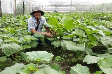 Nông dân làm giàu từ trồng rau an toàn