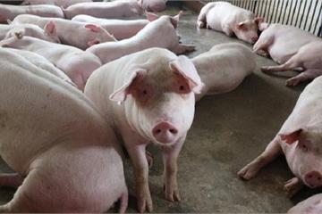 Giá lợn hơi giảm mạnh, tiếp tục giảm sâu