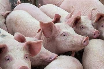 Trung Quốc khát thịt lợn, giá lợn hơi trong nước giữ mức cao