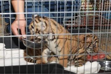 Giải cứu 2 cá thể hổ con quý hiếm ở Hà Tĩnh