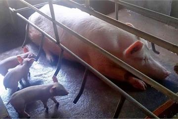 TP.HCM: Khám nhà các trường hợp tồn trữ, giết mổ gia súc trái phép ngăn dịch tả heo