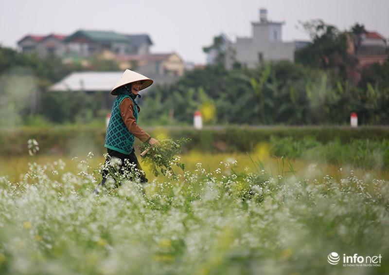 Dịu dàng mùa hoa cải ven Hà Nội - ảnh 3