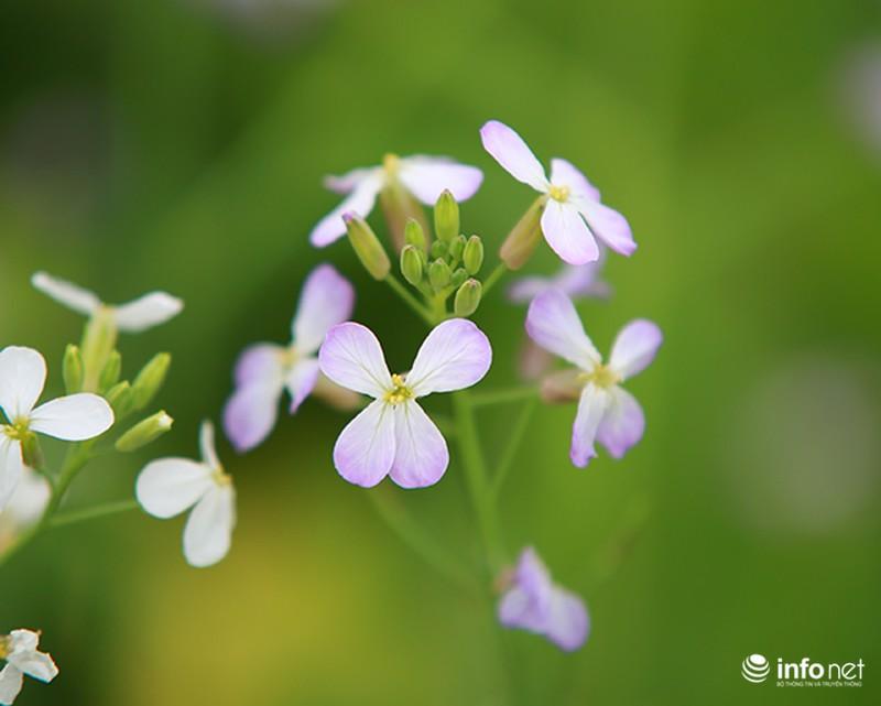 Dịu dàng mùa hoa cải ven Hà Nội - ảnh 8