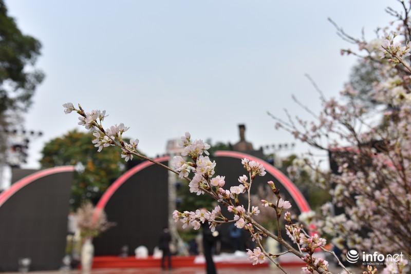 Chưa khai mạc, lễ hội hoa anh đào Nhật Bản đã hút hàng nghìn người Hà Nội - ảnh 9