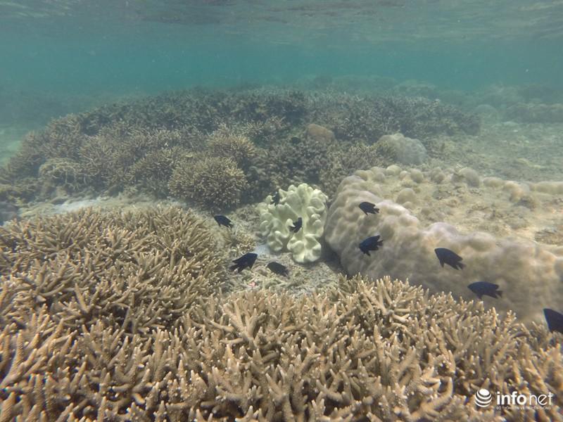 Kỳ ảo san hô ở Hòn Cau - ảnh 2