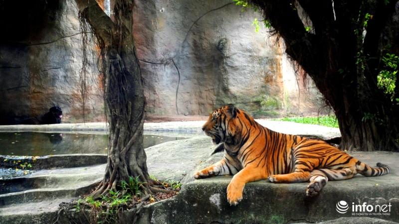 Tình bạn lạ lùng giữa hổ và chó trong khu du lịch Đại Nam - ảnh 3