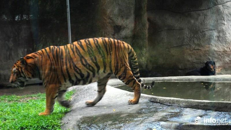 Tình bạn lạ lùng giữa hổ và chó trong khu du lịch Đại Nam - ảnh 4