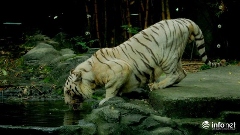 Tình bạn lạ lùng giữa hổ và chó trong khu du lịch Đại Nam - ảnh 8