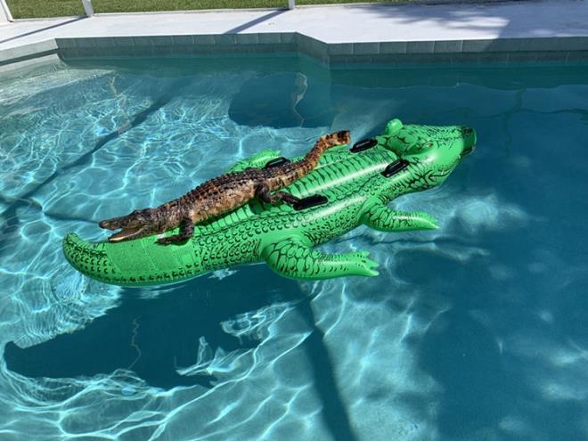 Cá sấu thật cưỡi cá sấu mô hình, nằm thư giãn trong hồ bơi - 1