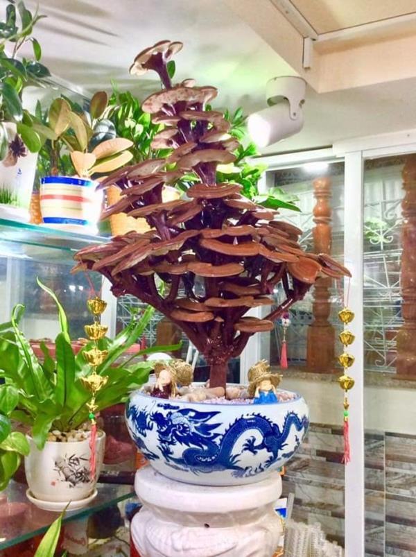 Giá đắt đỏ tiền triệu, nấm linh chi bonsai vẫn hút khách - 1
