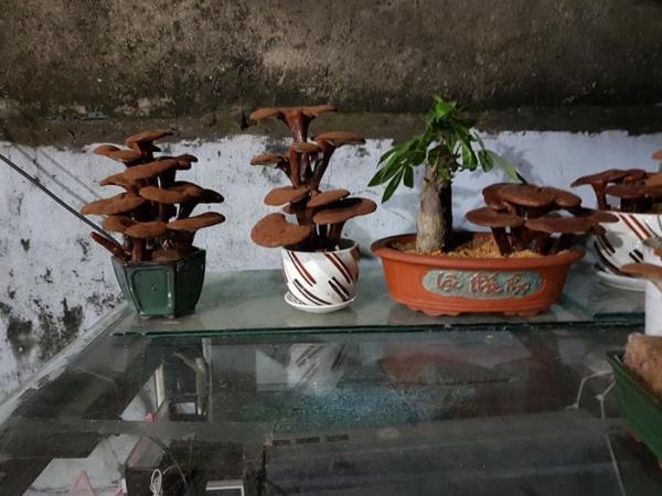 Giá đắt đỏ tiền triệu, nấm linh chi bonsai vẫn hút khách - 9