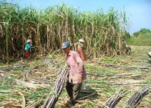 Đường lậu tràn lan: Nguy cơ phá sản ngành mía đường - ảnh 1