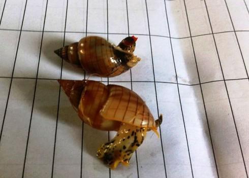 Xác định độc tố trong ốc lạ gây tử vong cho 3 ngư dân - ảnh 1