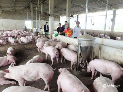 """Hà Tĩnh: Giá lợn """"lao dốc"""", dân bỏ không chuồng trại - ảnh 1"""