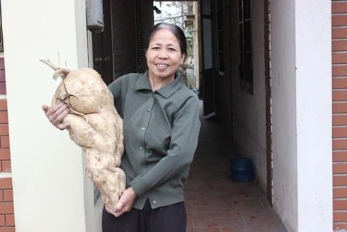 Xôn xao hiện tượng củ đậu nặng gần 15 kg - ảnh 1