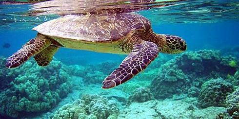 Rùa biển Việt Nam đối mặt nguy cơ tuyệt chủng - ảnh 1