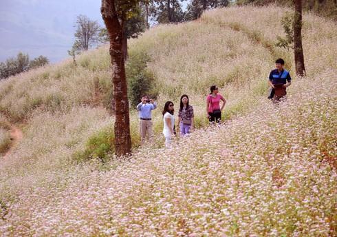 Bắc Hà trồng 10 ha hoa tam giác mạch phục vụ du lịch - ảnh 1