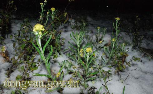 Tuyết rơi sớm ở Đồng Văn: Dày nhất trong vòng 10 năm - ảnh 9