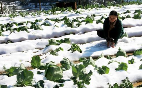 Xẻ thịt trâu chết rét vì mưa tuyết tại Sa Pa - ảnh 5