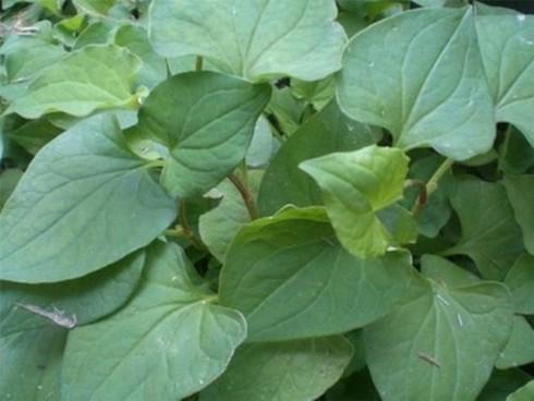 13 loại rau thơm có công dụng chữa bệnh - ảnh 8