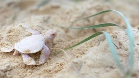 Phát hiện rùa con bạch tạng cực hiếm gặp - ảnh 1
